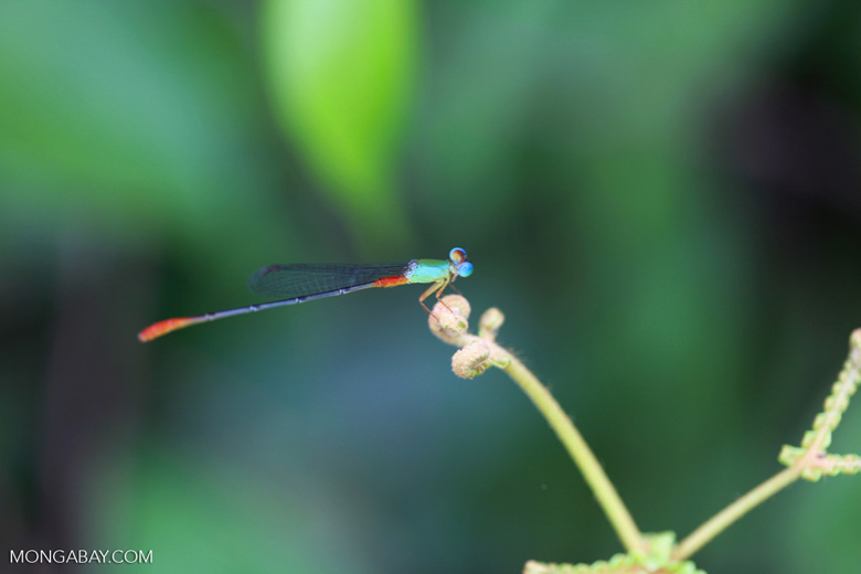 Red, green, and turquoise damselfly [kalimantan_0473]