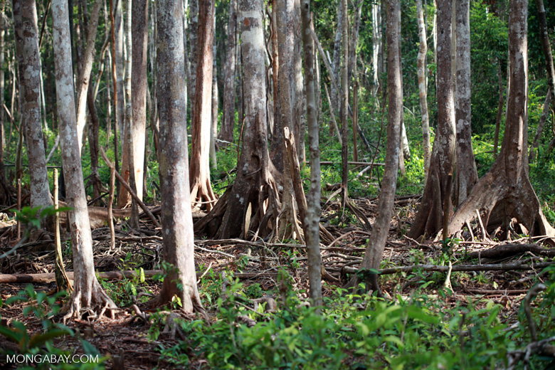 Forest degraded by baby orangutans