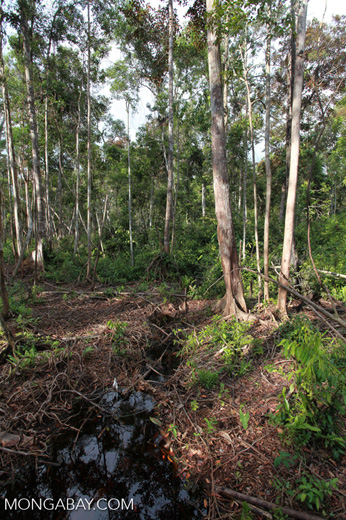 Forest degraded by palm oil orphaned orangutans [kalimantan_0502]