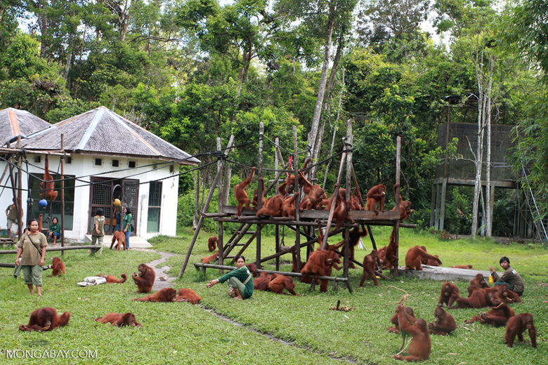 Orphaned Orangutans playing [kalimantan_0508]