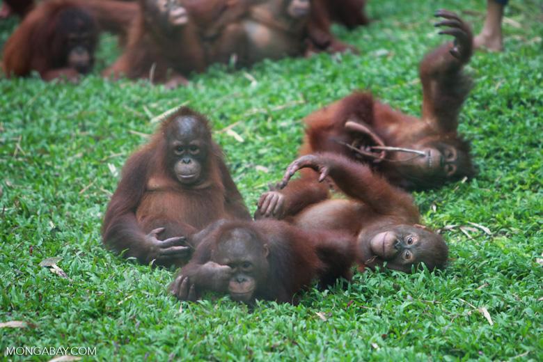 Orphaned Orangutans playing