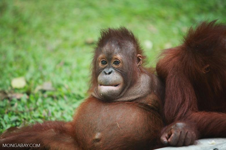 Orphaned Orangutan in Central Kalimantan [kalimantan_0511]