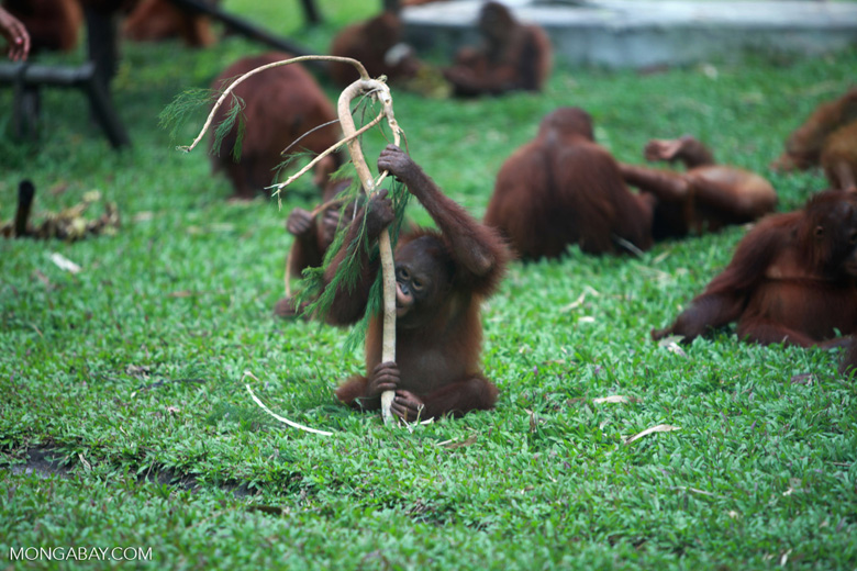 Baby Orangutan Playing with a Branch
