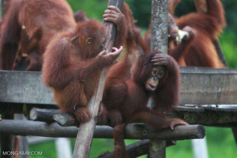 Two young orangutans gossip on a play structure