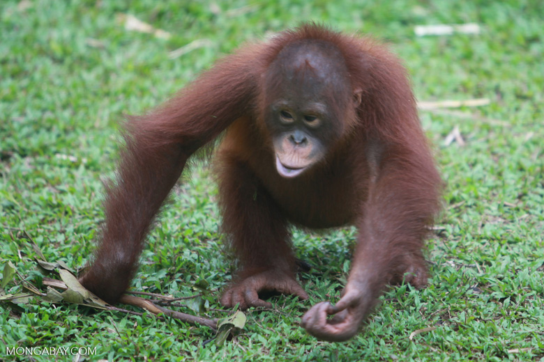 Young Orangutan playing with branch