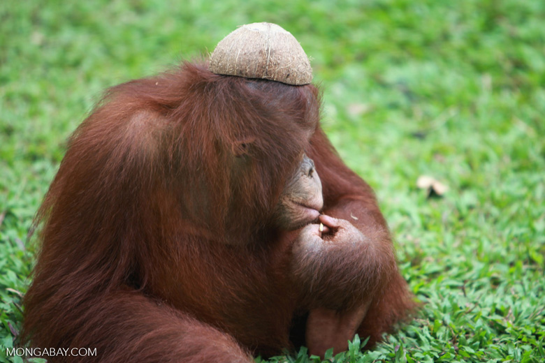 Orangutan with a coconut hat [kalimantan_0523]