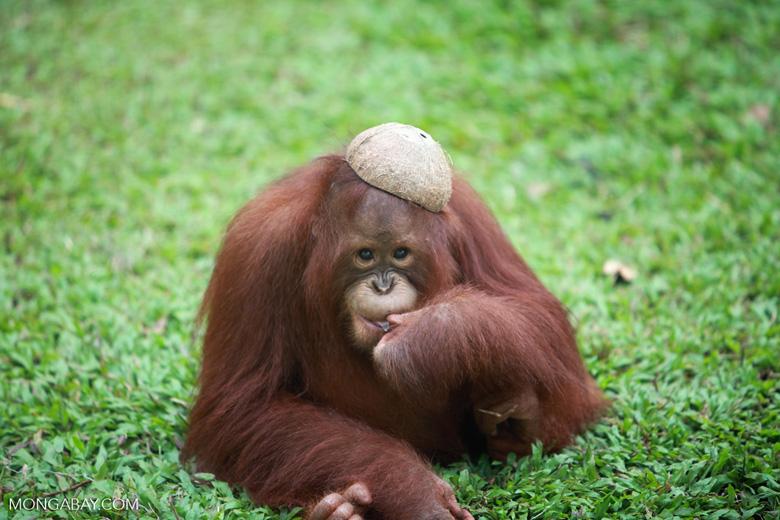 Orangutan with a coconut hat [kalimantan_0525]