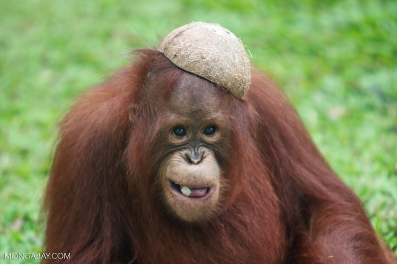 Orangutan with a coconut hat and leaf in mouth [kalimantan_0532]