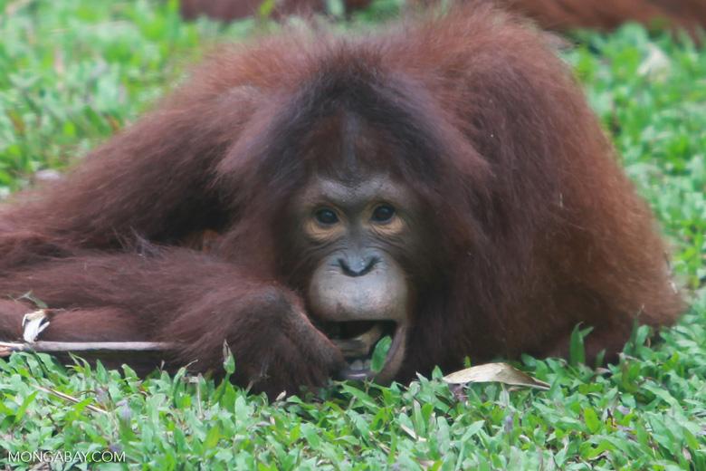 Orangutan eating a stick