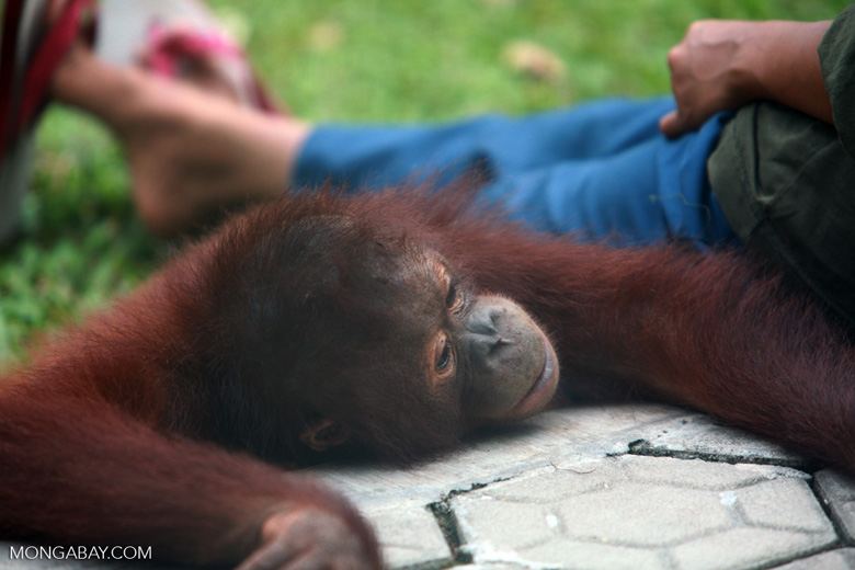 Orphaned Orangutan in Central Kalimantan [kalimantan_0546]