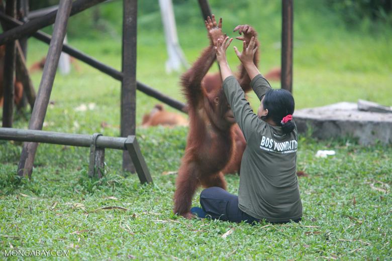 Researcher helps Orangutan exercise