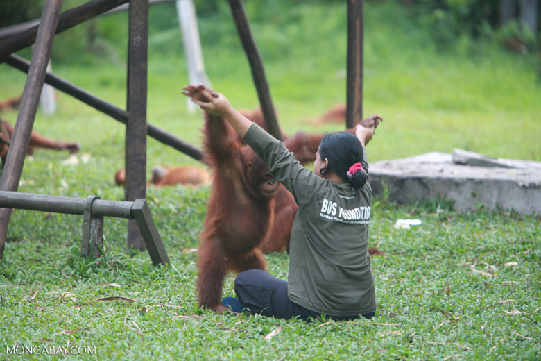 Researcher helps Orangutan exercise [kalimantan_0551]