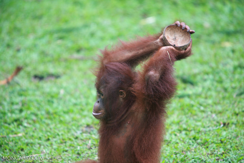 Orangutan playing with coconut