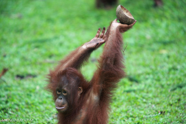 Orangutan playing with coconut [kalimantan_0555]