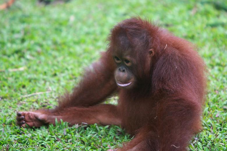 Small Orangutan contemplates life [kalimantan_0556]