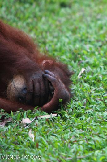 Orangutan hides face in coconut