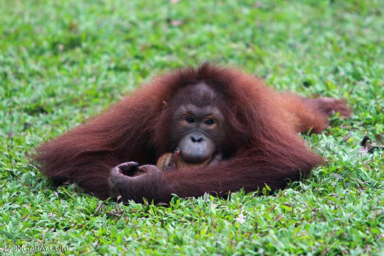 Close Up: Small Orangutan knawing on a coconut shell