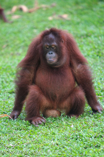 Orangutan Sitting On A Coconut [kalimantan_0563]