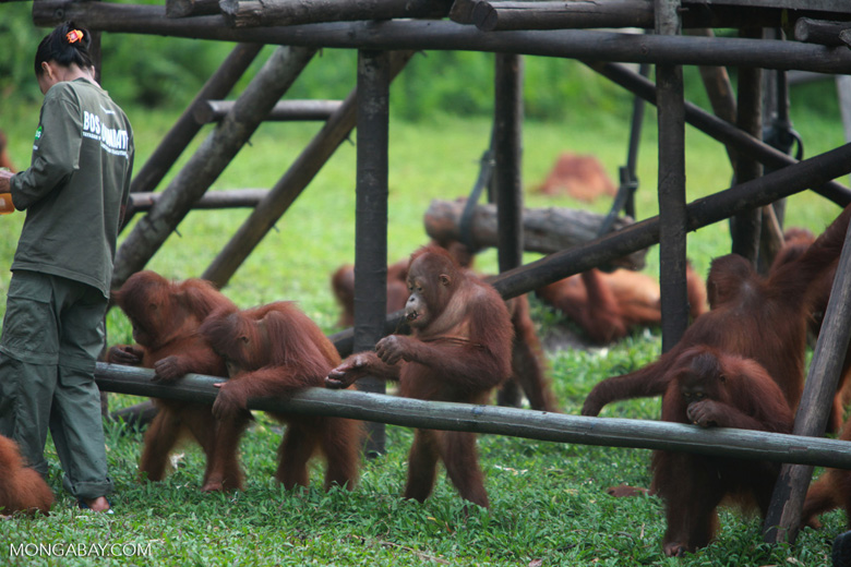 Young Orangutans learning to using tools [kalimantan_0567]