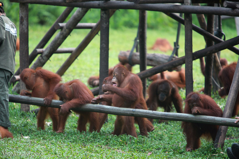 Young Orangutans learning to using tools [kalimantan_0569]