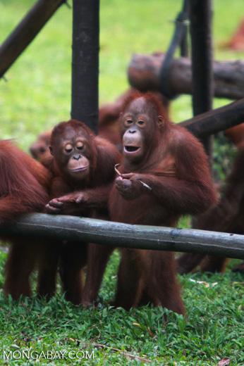 Orangutan discovers the value of using tools