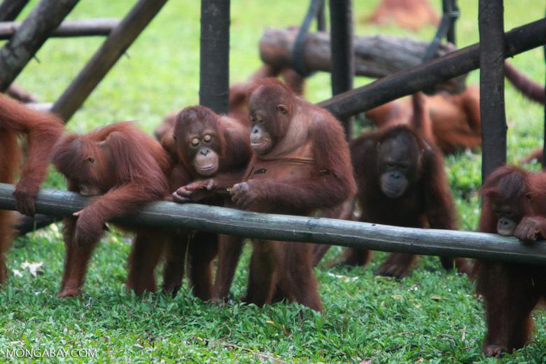 Young Orangutans learning to using tools [kalimantan_0574]