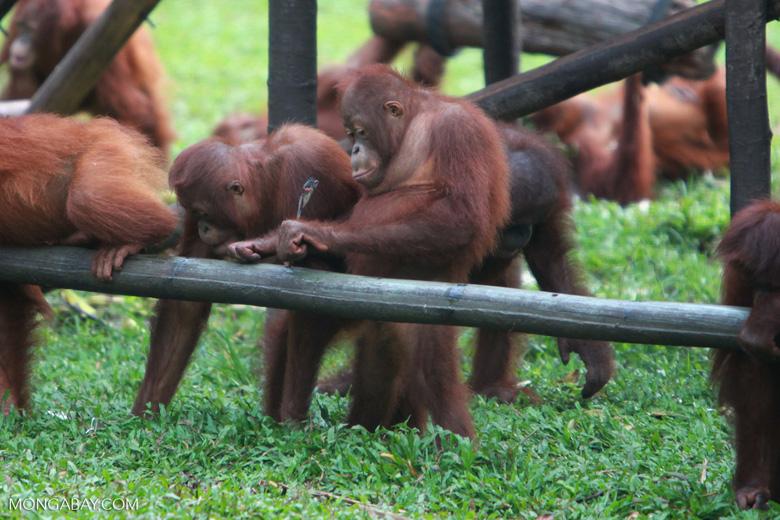 Young Orangutans learning to using tools [kalimantan_0578]