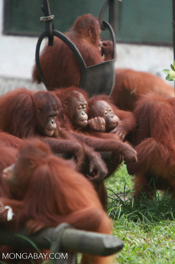 Young Orangutans hanging out