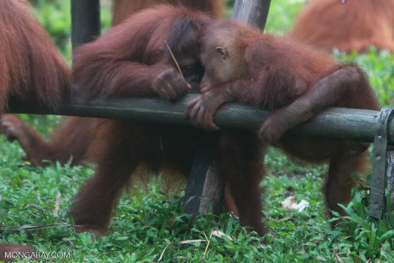 Young Orangutans learning to using tools [kalimantan_0589]