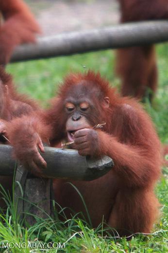 Orangutan discovers the value of using tools [kalimantan_0604]
