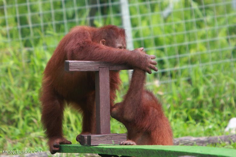 One Orangutan helps another on the seesaw [kalimantan_0607]