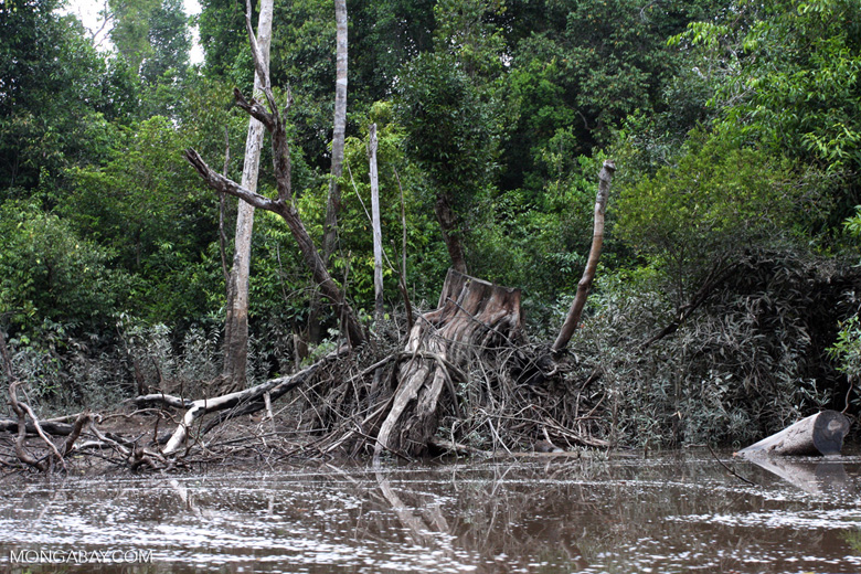 Logged tree in a peat swamp