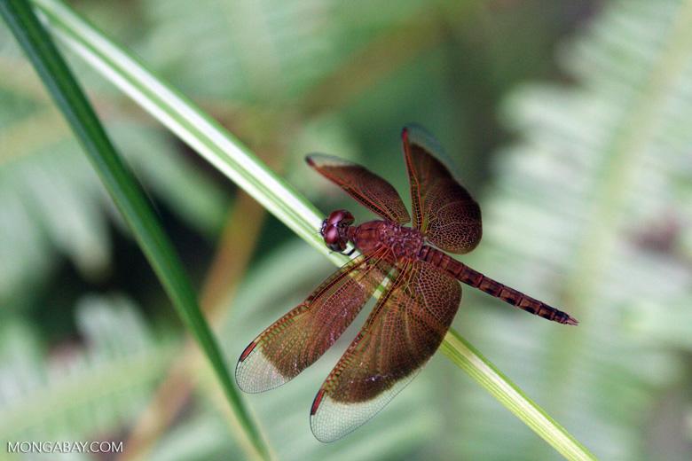 Red grasshawk dragonfly [kalimantan_9025]