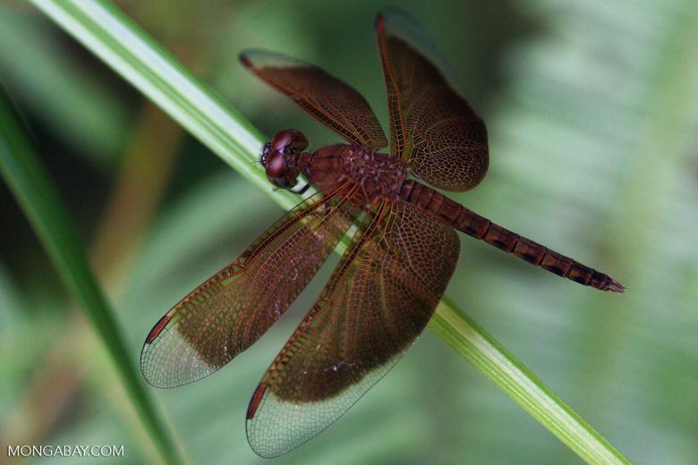 Red grasshawk dragonfly [kalimantan_9026]