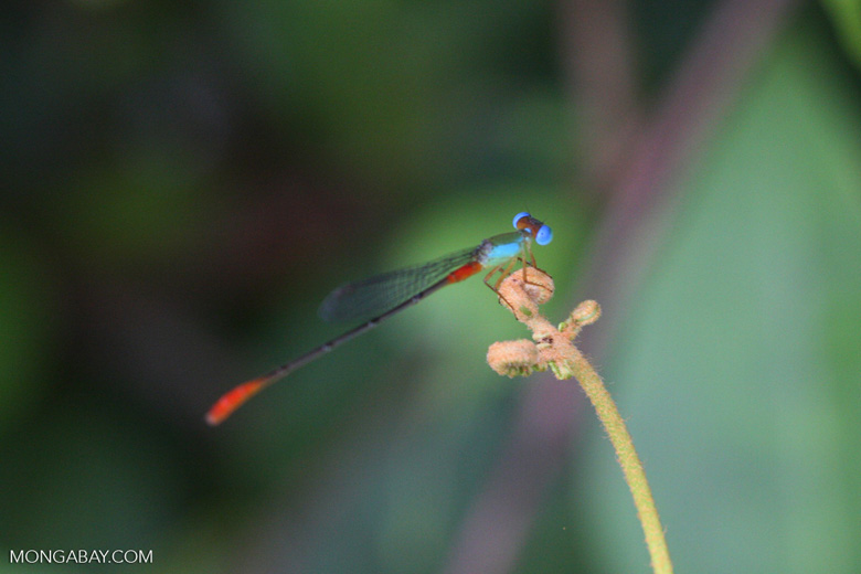 Red, green, and turquoise damselfly [kalimantan_9027]