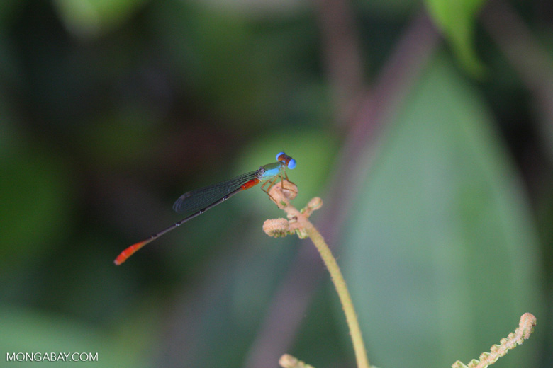 Red, green, and turquoise damselfly