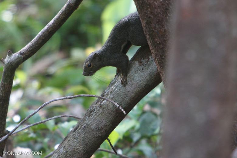 Borneo forest squirrel