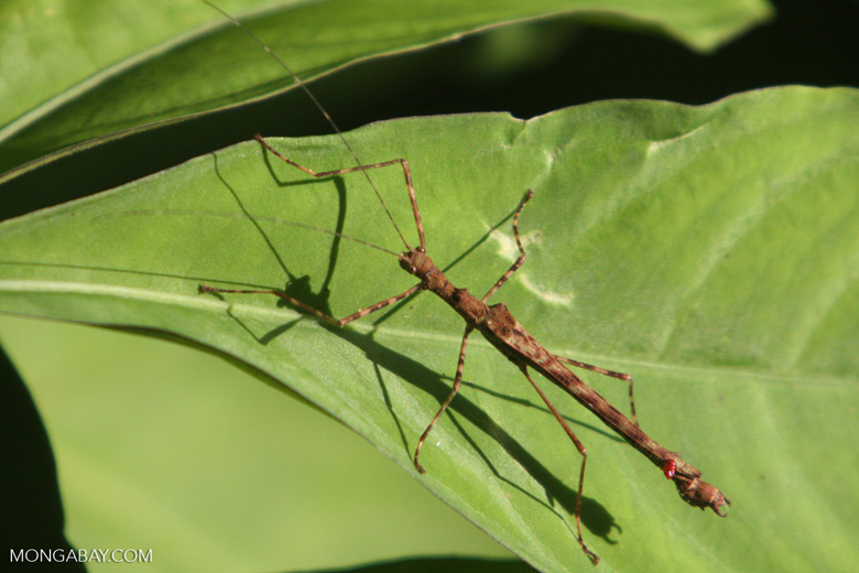 Stick insect [kalimantan_9030]