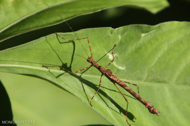 Stick insect [kalimantan_9031]