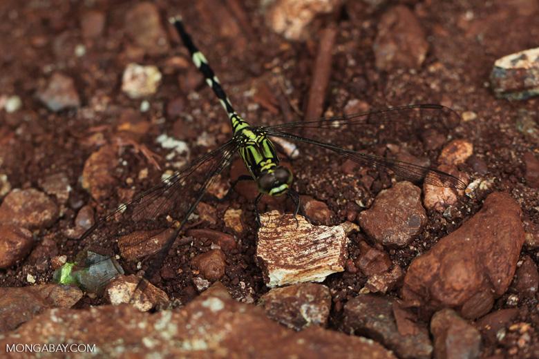 Green dragonfly [kalsel_0003]