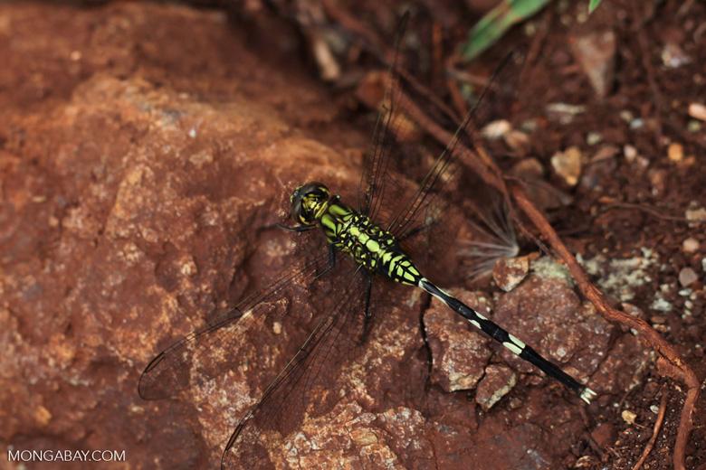 Green dragonfly [kalsel_0005]