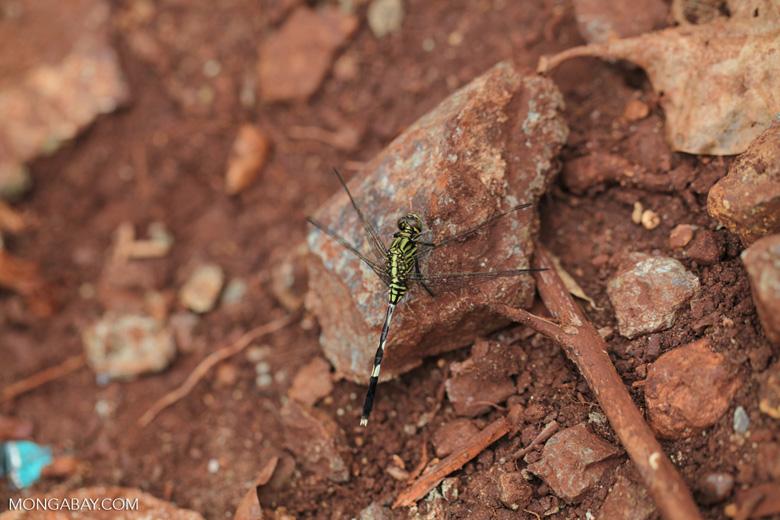 Green dragonfly [kalsel_0006]