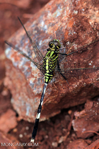 Green dragonfly [kalsel_0004]
