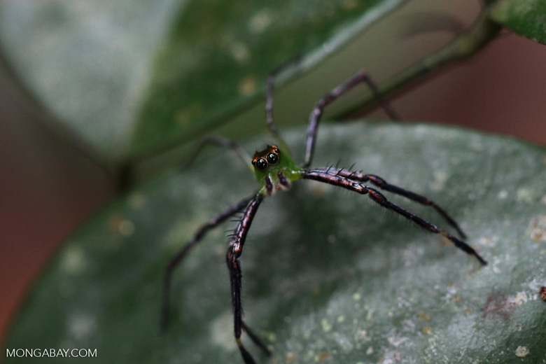 Green and black jumping spider [kalsel_0015]