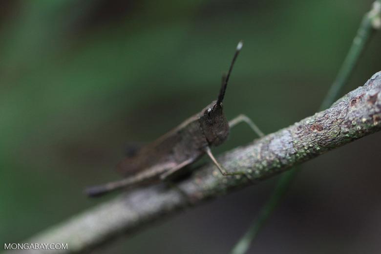 Brown grasshopper [kalsel_0032]