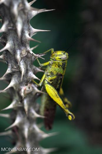Green-yellow locust [kalsel_0045]