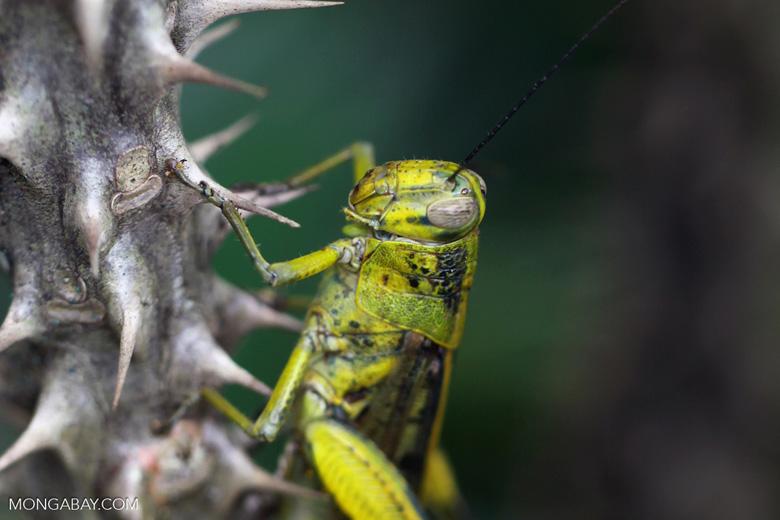 Green-yellow locust