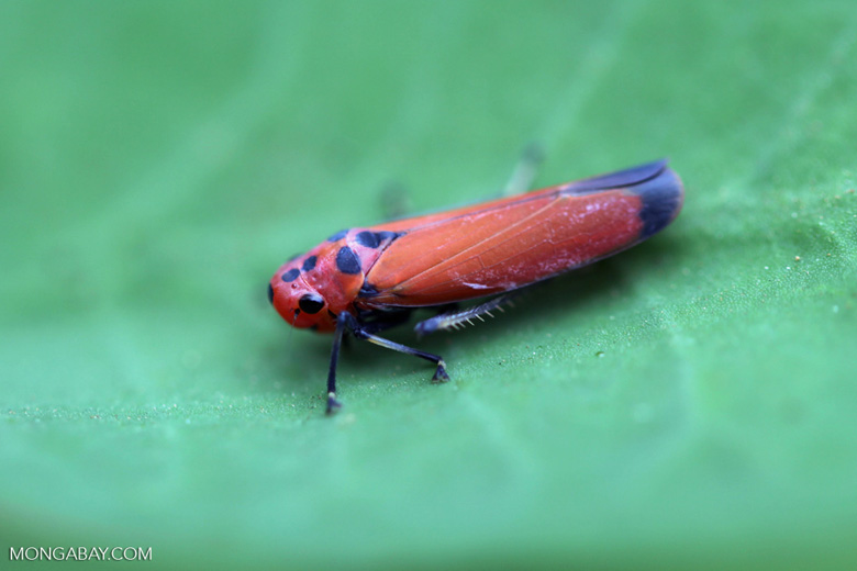 Bright orange-pink planthopper [kalsel_0046]