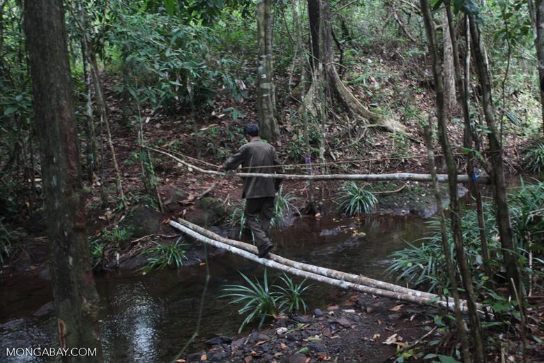 Park ranger crossing a log bridge