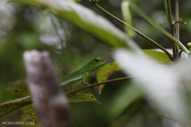 Green Crested Lizard (Bronchocela cristatella) [kalsel_0113]
